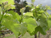 Blackhouse_vineyard_2